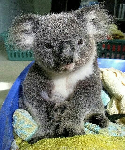 This is the cutest thing I have ever seen. It is a koala