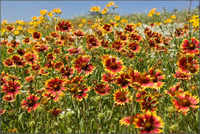 texas wildflowers names and pictures photo Indian