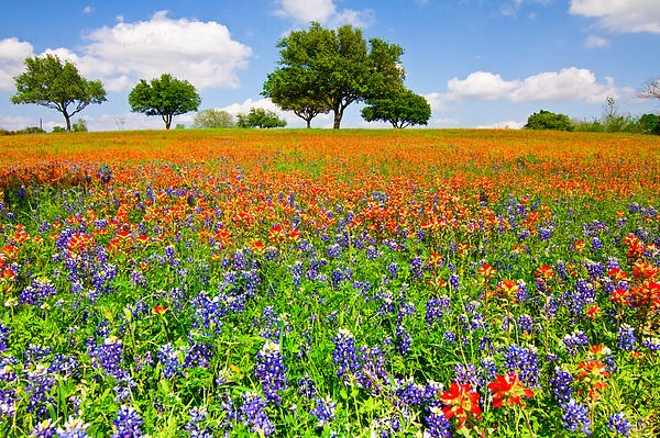 A field of wildflowers in Chappell Hill, TX. Indian