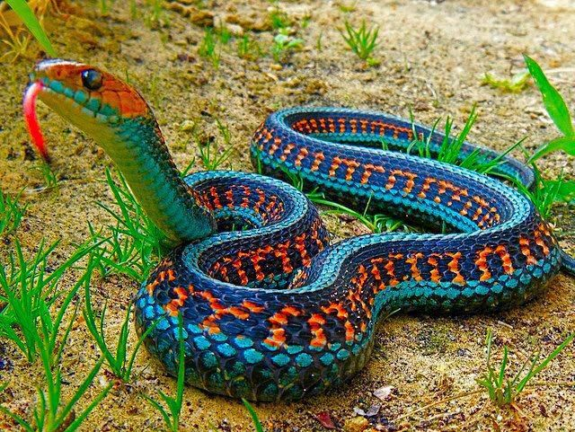 California RedSided Garter Snake ♥ Creative Nature