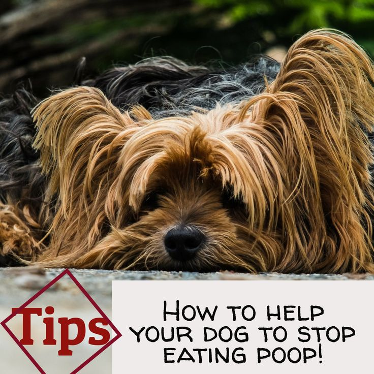How to help your dog to stop eating poop tips yorkie