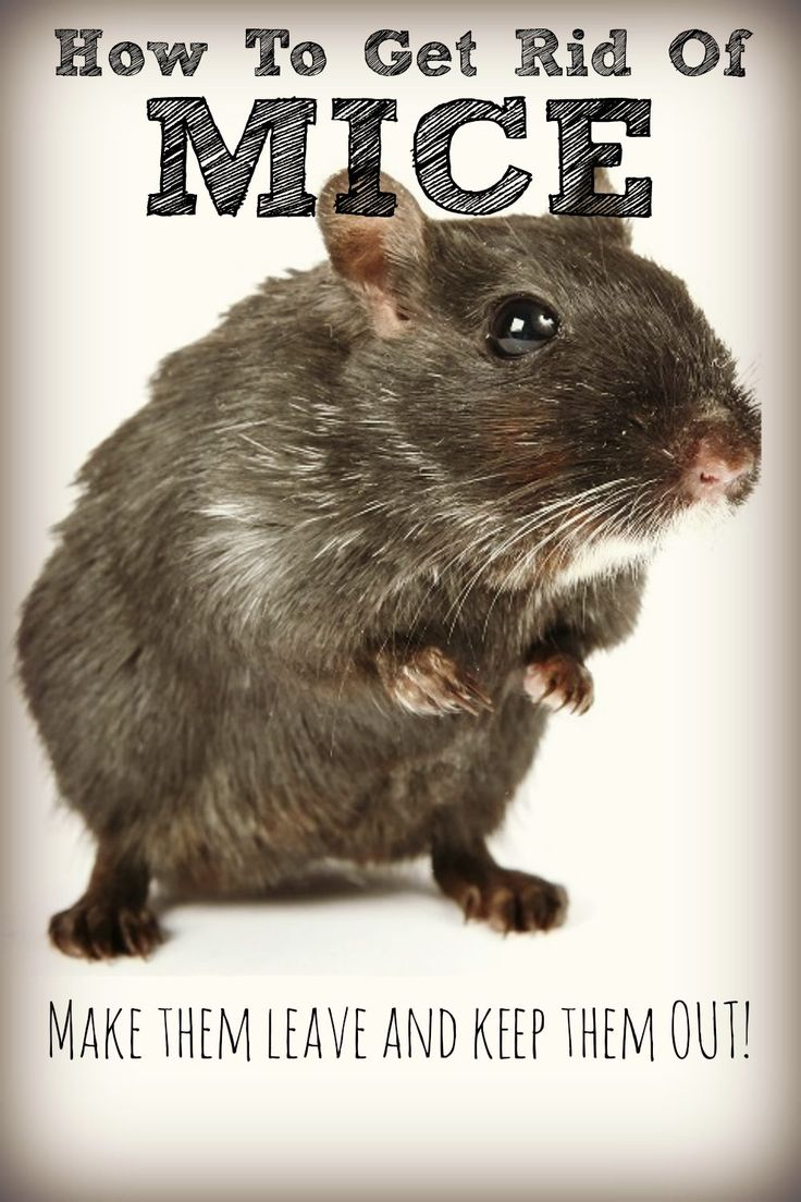 Get rid of mice naturally no cat required electrical