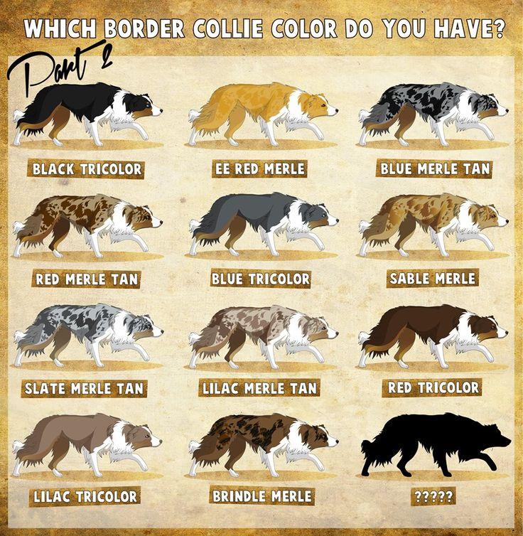 Tricolor Chocolate Border Collie