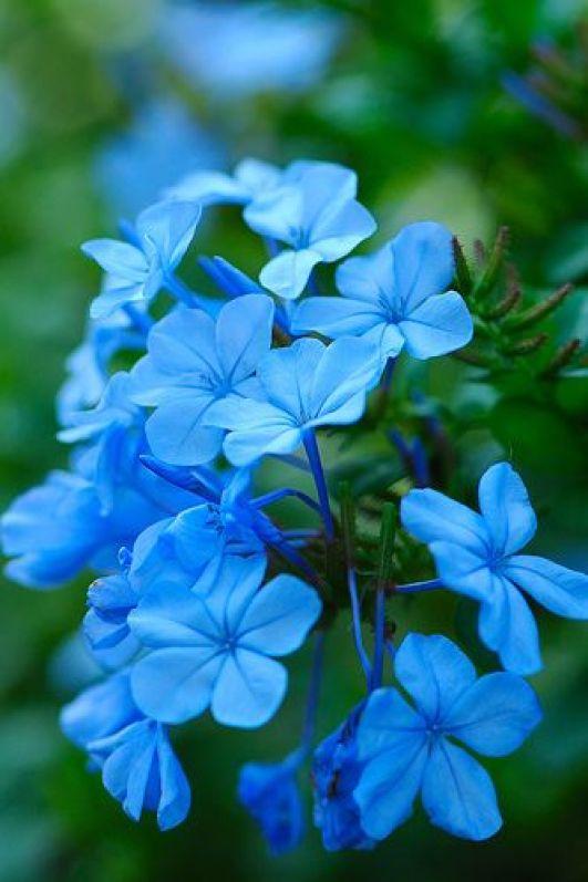 blue flowers:
