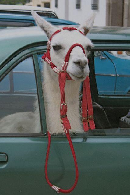 131 Best Ideas About Lamattitude On Pinterest Alpaca