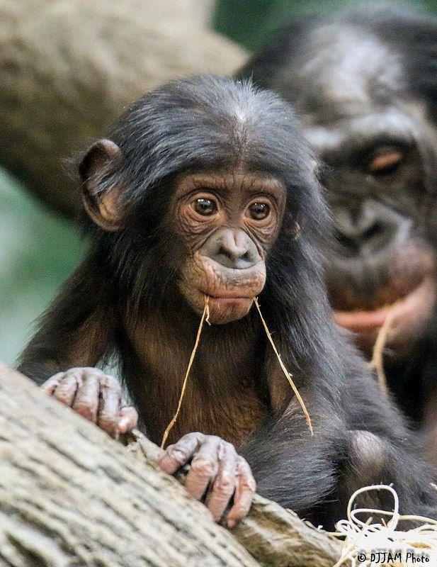 baby bonobo Animals Pinterest Photos, Monkey and Babies