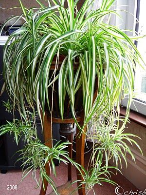 Spider Plant is one of the easiest houseplants to care for. Thrives best in low to minimal light and biweekly watering. Spider