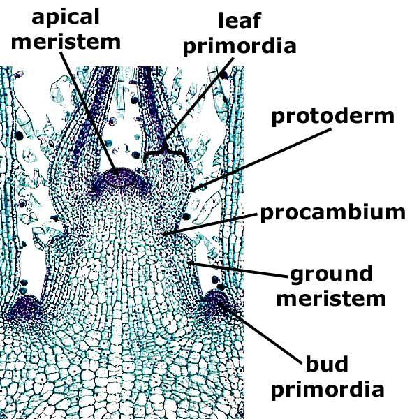 Coleus Stem Tip, l.s. Plant Anatomy I Leaf, Stem, Root