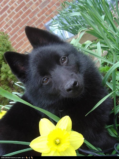 Schipperke dog art portraits, photographs, information and