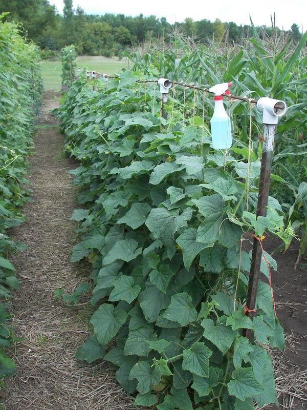 Cucumber Trelis – must do this next year, as my cucumber takes over half the garden!