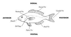 Basic fish diagram (fins labeled)   fish lesson