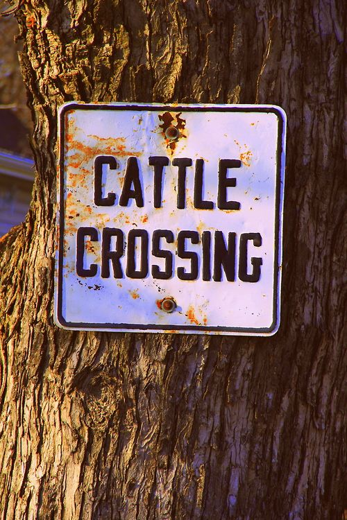 17 Best Images About Show Cattle Barn On Pinterest Pine