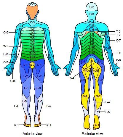 Myotome And Dermatome Chart
