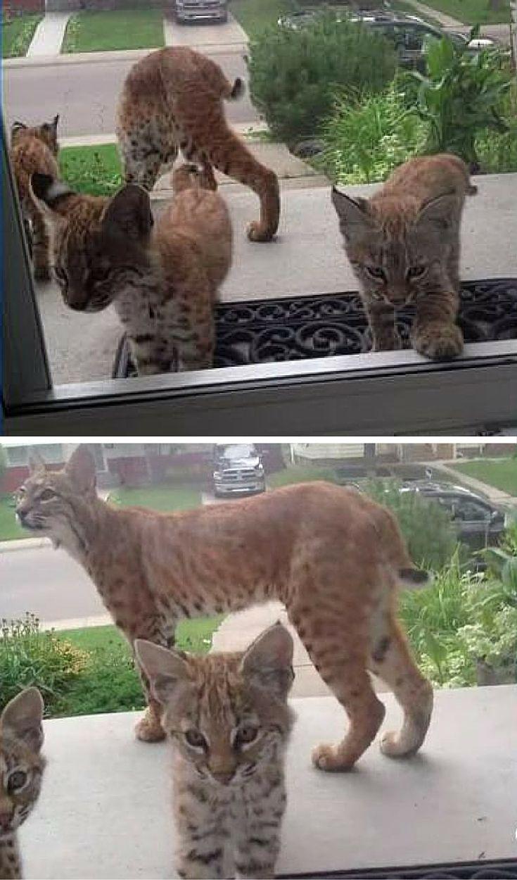 Bobcat And Her Kittens Surprise Woman At Her Door