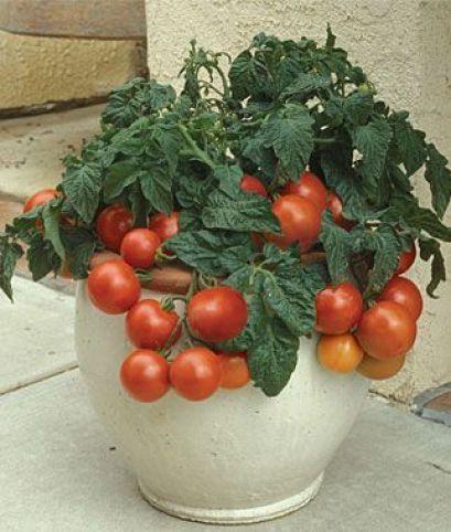 Molte varietà di pomodori, soprattutto quelle di piccole dimensioni, sono davvero facili da coltivare anche in vaso