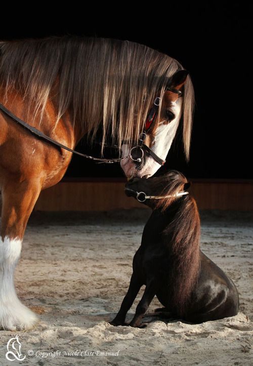 """""""Hercules"""" 19hh Clydesdale & """"Prancer"""" 52cm Miniature ~ by Nicole Clare Emanuel"""