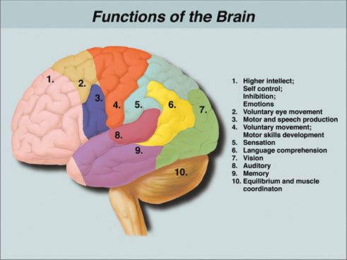 Functions Of The Brain Anatomy Neuroscience Science