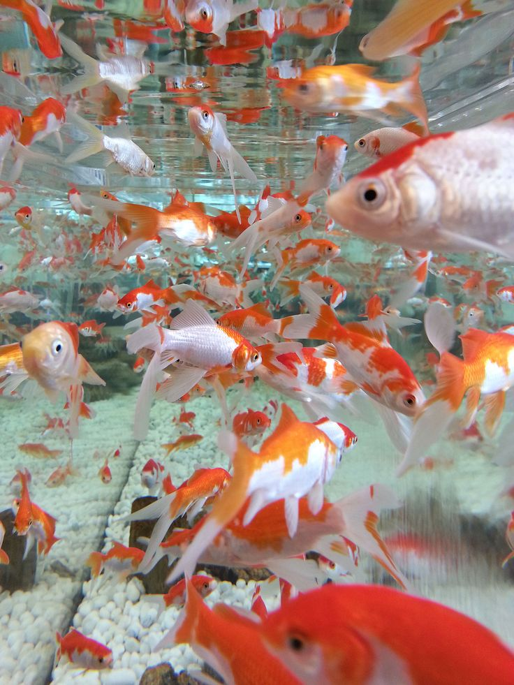Marvelous 1000 Ideas About Koi Fish Drawing On Pinterest
