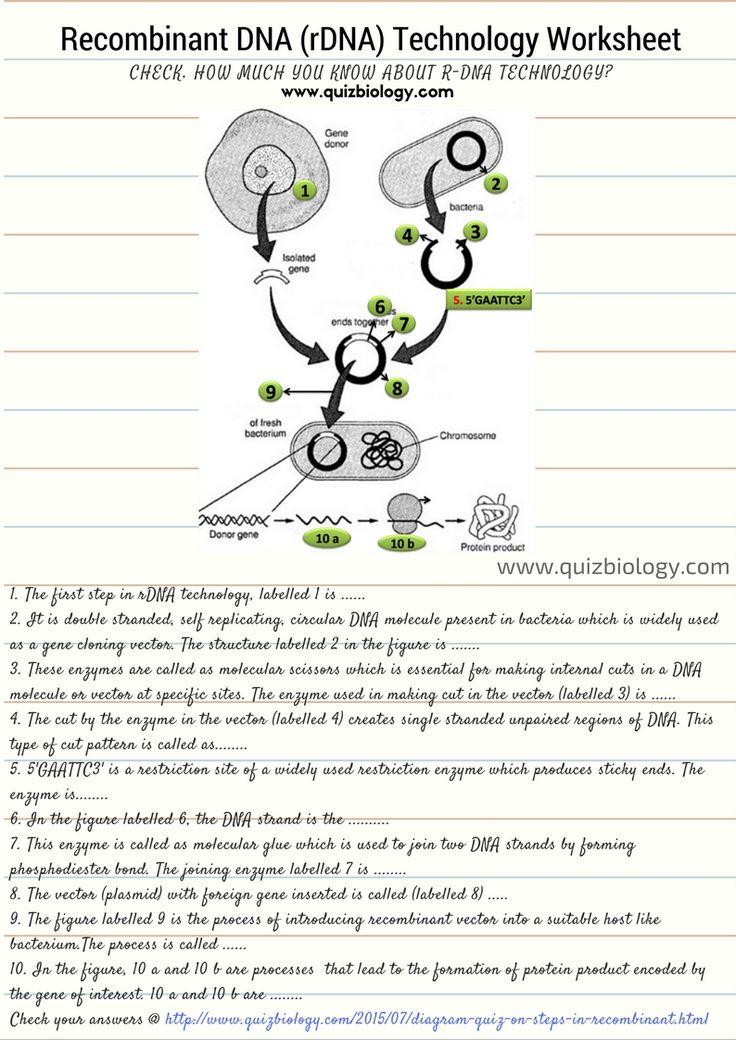 DNA Technology Worksheet Biology worksheet