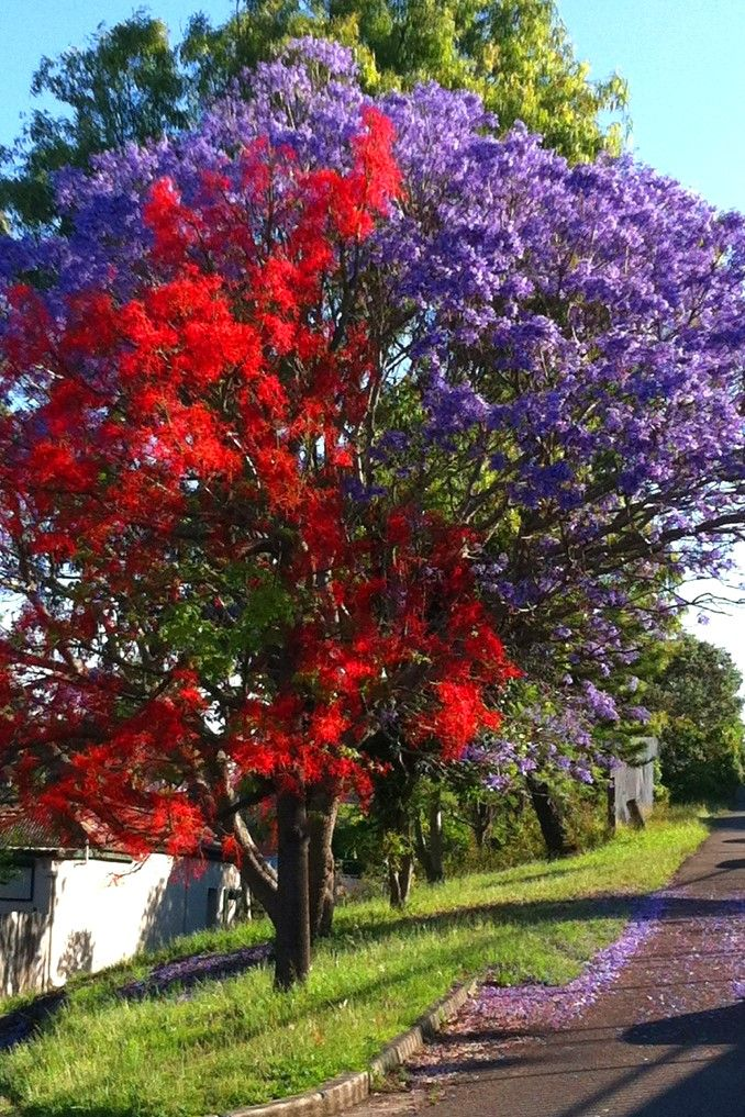 Red Illawara Flame Tree and Jacaranda Porch, Pool