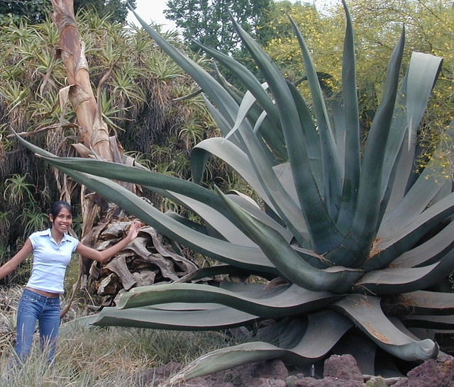 This is Agave mapisaga var. lisa. She is the largest Agave