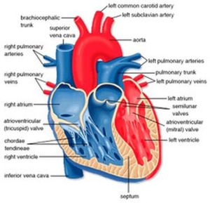 Human Heart Diagram | home blog heart diagram the human
