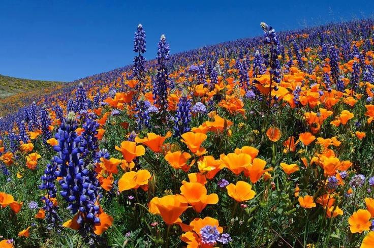 california poppy and lupine My new Frontyard Pinterest