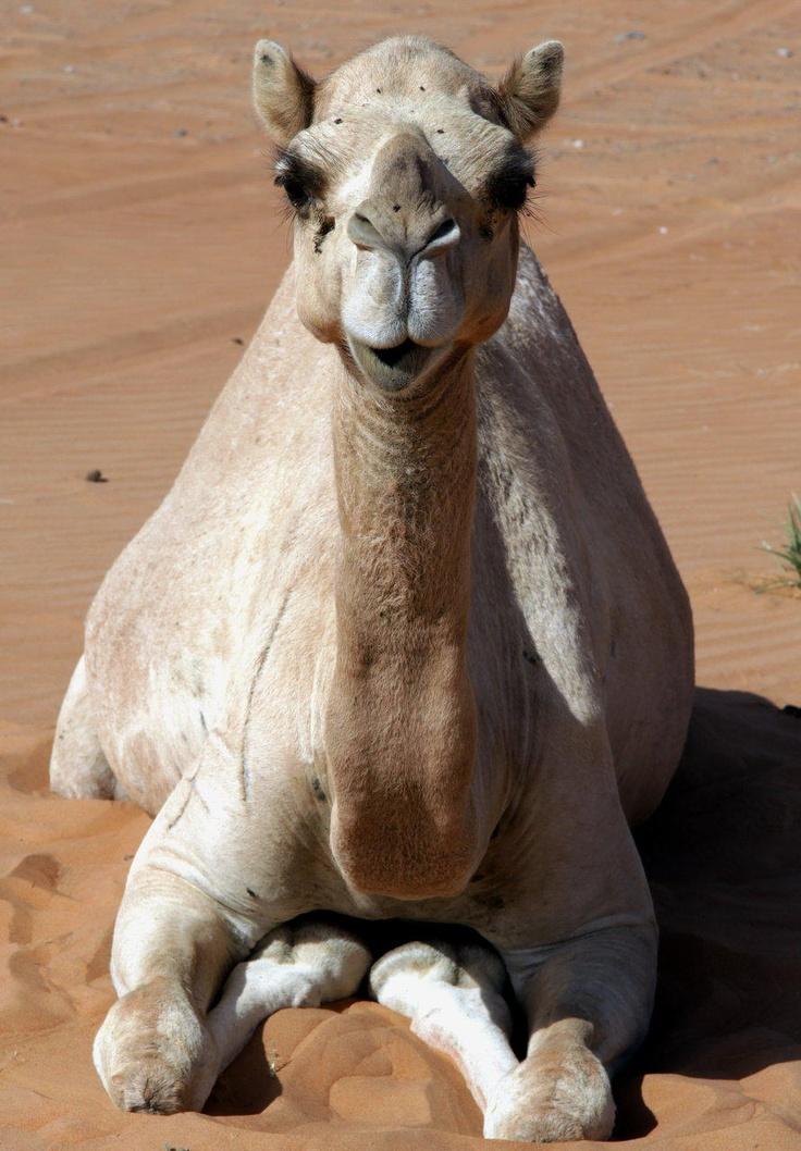 Camel resting. United Arab Emirates Photography