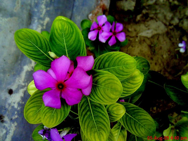 Common name Periwinkle, Vinca • Hindi Sadabahar सदाबहार