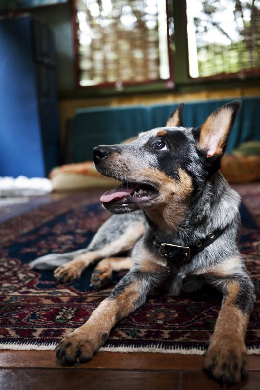 341 Best Images About Australian Cattle Dogs Blue Red