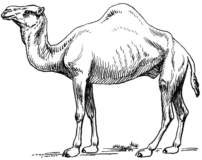 sketches of in the desert 2 dromedary 2 a public