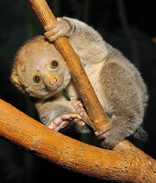 POTTO Habitat Rain forests in Africa Fun Fact The