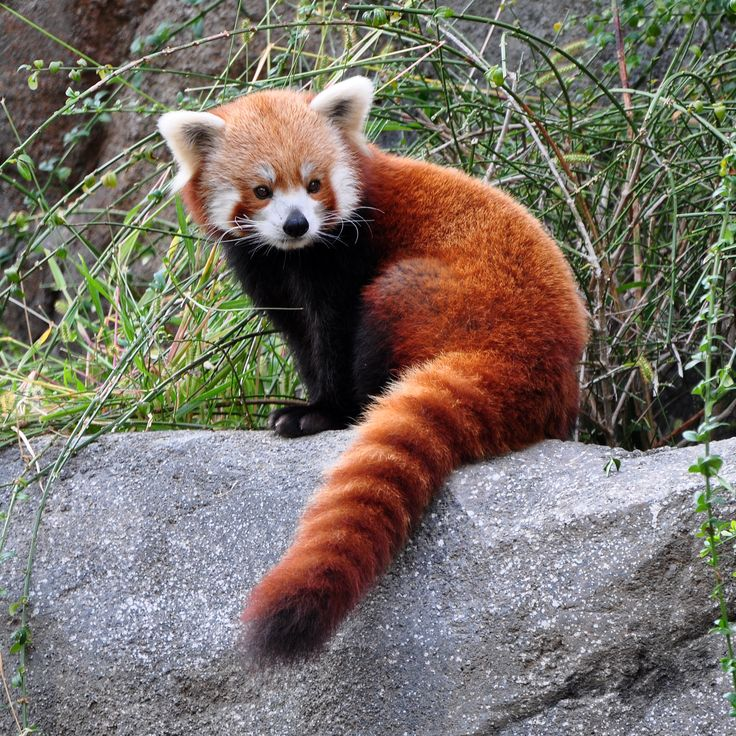 With reddishbrown fur and a long, shaggy tail, the red