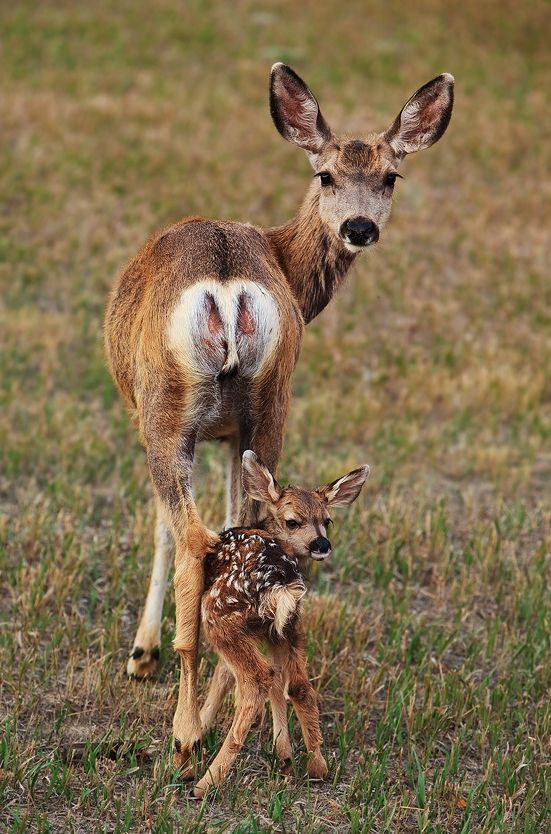 Mama doe and fawn Parent and Child Pinterest