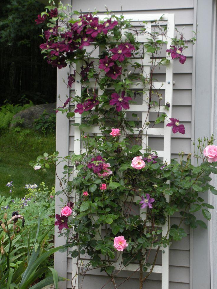 Rose trellis Clematis and Rose Trellis GardenShare