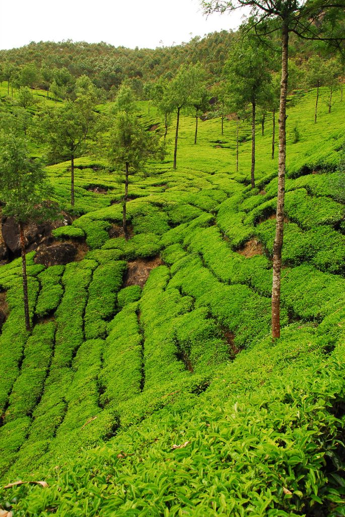 Munnar, India tea plantation KERALA Pinterest The o