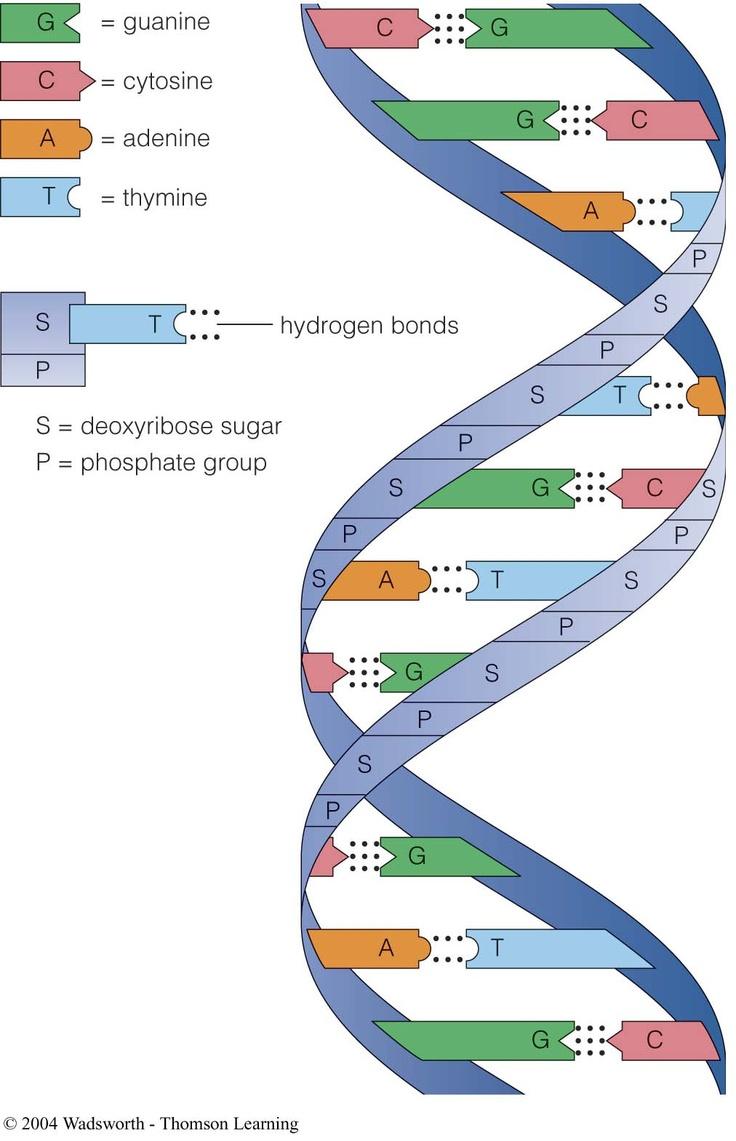 Complementary base pairs purinepyrimidinepairs; sugar