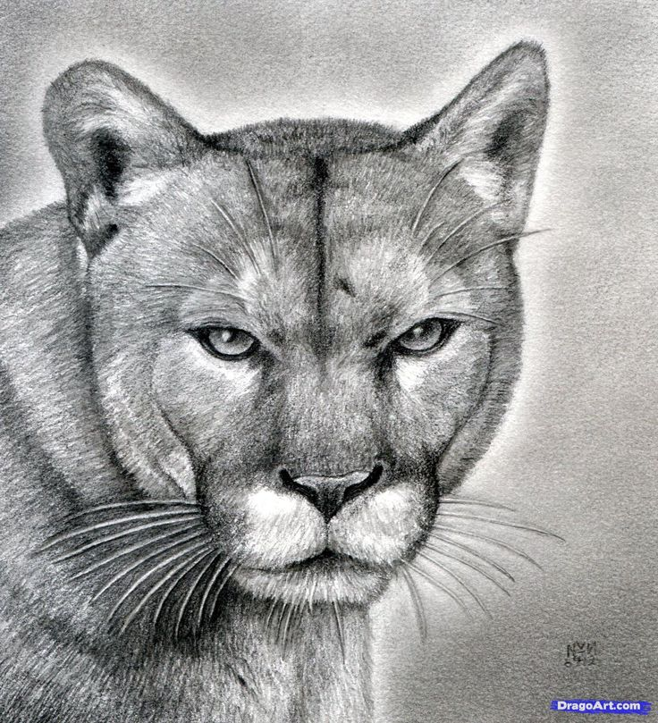 how to draw a realistic puma, mountain lion step 22 Art