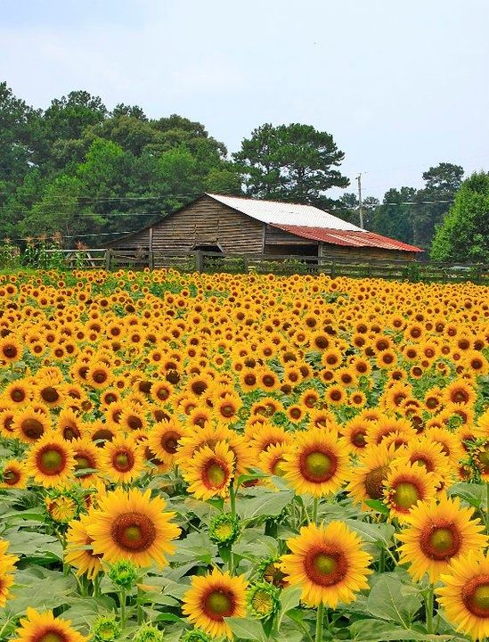 City 24 Cumming, GA Anderson sunflowers YES! We moved