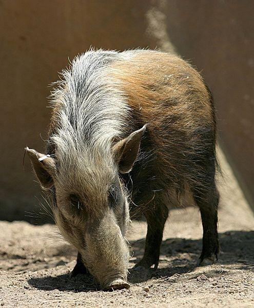 Bush Pig Kenya Birds and Animals, Kenya Pinterest