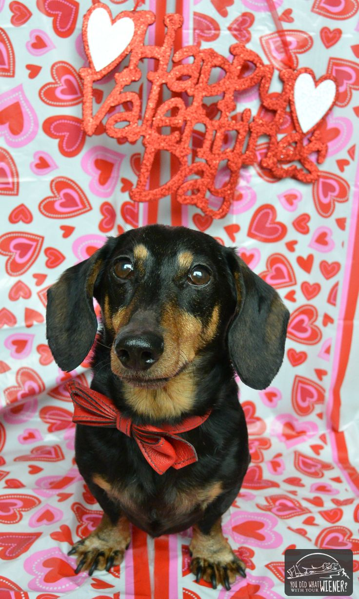 Little Gentleman Chester Wants To Wish All The Ladies A Happy Valentines Day Dachshunds Etc