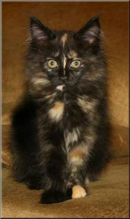 1026 Best Images About TortoiseshellCalico Cats On