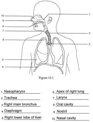Human Anatomy Labeling Worksheets Respiratory Anatomy