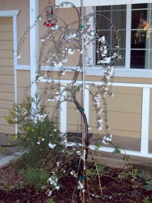 Serpentine Snow Fountain Weeping Cherry From My Garden