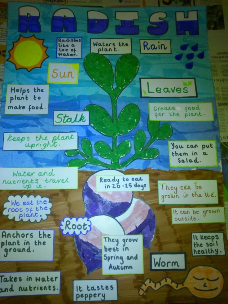 Labelled picture of a radish plant the children create