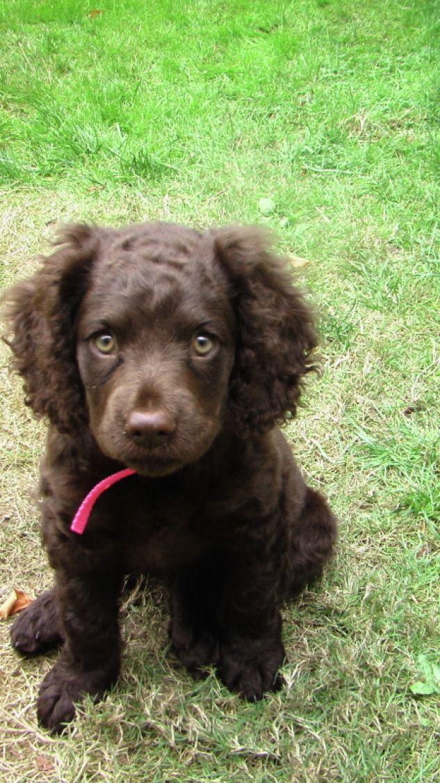 American Water Spaniel Puppy Dog Furry Pinterest