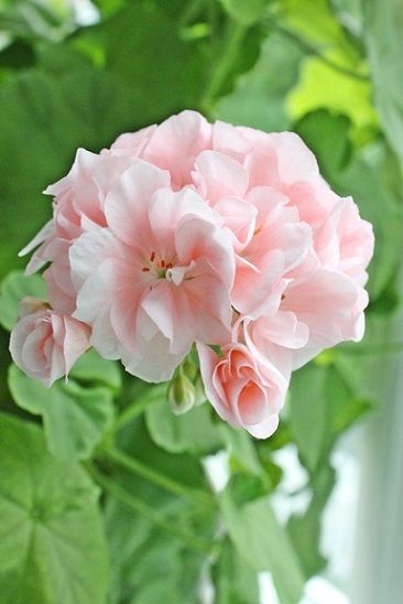 Pale Pink Geraniums Containers
