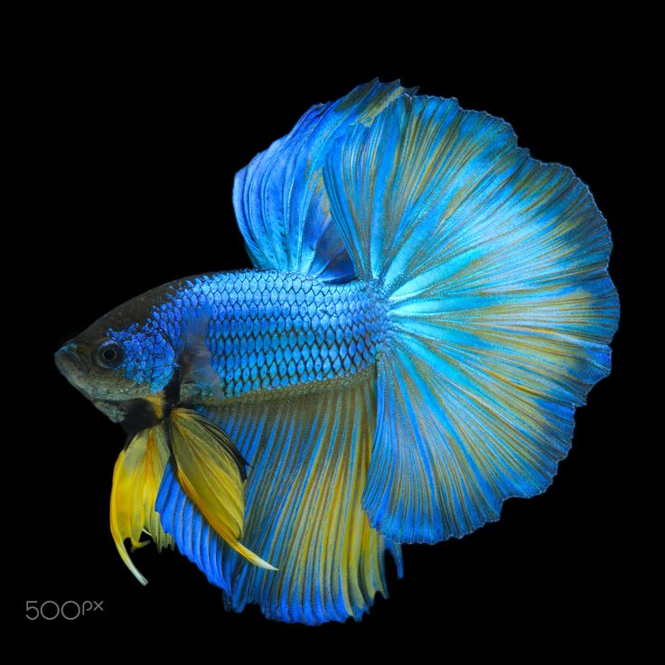 1509 best images about Pretty Bettas on Pinterest