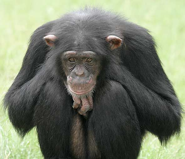 Monkey Chimpanzee Chimpanzee Pictures Images Amp Photos