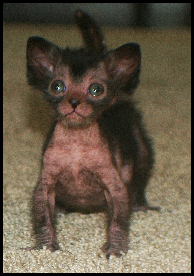 1000 Images About My Dream Cats On Pinterest Aliens Savannah Cats And Sphinx Cat